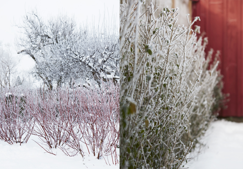 träd med vita blommor på bar kvist
